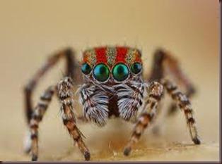 Amazing Pictures of Animals, photo, Nature ,exotic, funny, incredibel, Zoo, Maratus volans,  Peacock spider or Gliding spider, Alex (7)