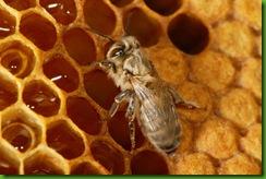 Juste après sa naissance, une jeune abeille encore imparfaitement pigmentée s'approche des réserves de miel pour son premier repas. Sa principale nourriture restera le pollen, protéine indispensable les premiers jours de sa vie pour achever son développement interne. Les besoins annuels de la colonie sont de 15 à 30 kilos de pollen et de 60 à 80 kilos de miel.