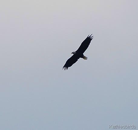 7. Bald eagle-kab