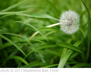 'Dandelion' photo (c) 2011, Madeleine Ball - license: http://creativecommons.org/licenses/by-sa/2.0/
