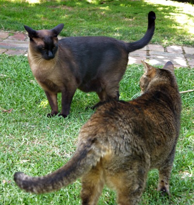 cats_stand off_050112