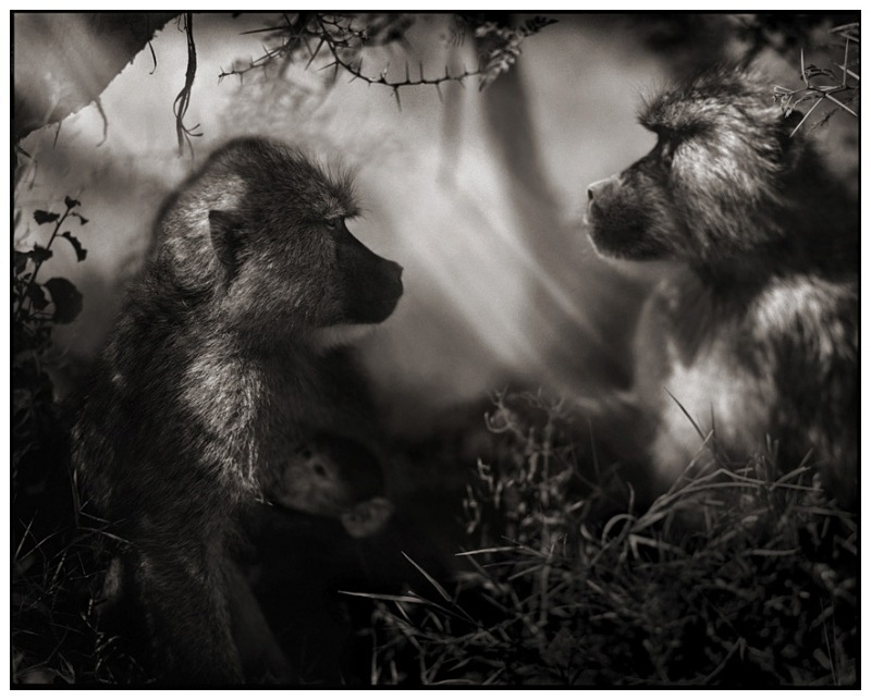7 Baboons in Profile