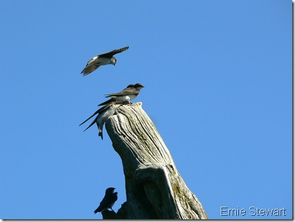 Young Tree Swallows