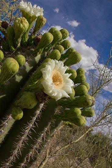 Saguaro in Bloom on Cresta Loma