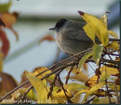 blackcap-1