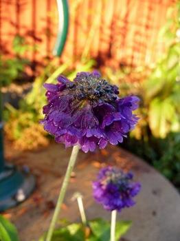 056 Primula capitata ssp. mooreana Daniel Grankvist