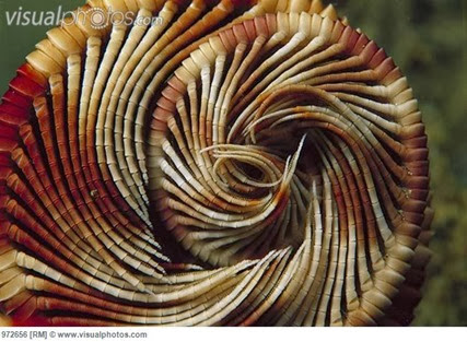 Amazing Pictures of Animals, Photo, Nature, Incredibel, Funny, Zoo, Crinoid, Lamprometra palmata, Alex (7)