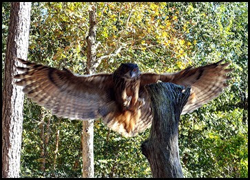 05h2 - Flight Demo - Euroasian Owl