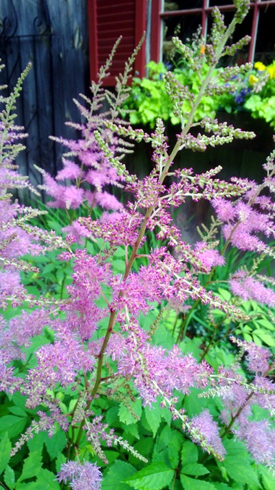 Astilbe | Ideas in Bloom
