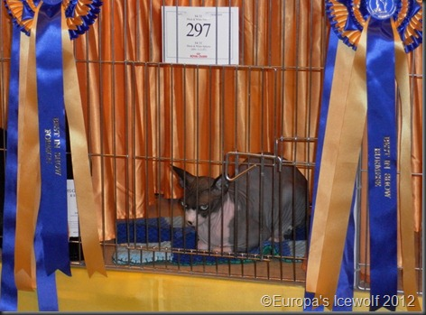 Best in show_Foreign_Black and White Spynx Cat (Hairless Cat)