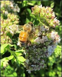 honeybee on oregano0603 (2)