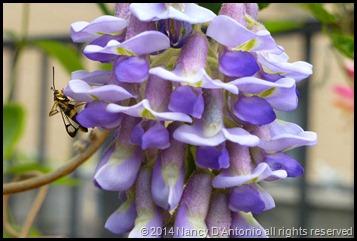 wisteria-3-blog