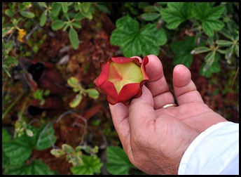 04w7b -  Hike - Pitcher Plant Flower