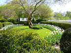 The Orlando Jones oval garden rung in white tulips and boxwood framing a paper mulberry, one of my favorite gardens for the layout and utility buildings.