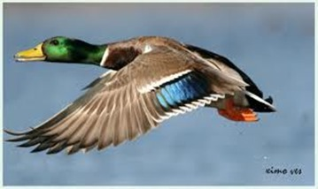 Amazing Pictures of Animals, photo, Nature, exotic, funny, incredibel, Zoo,  Mallard, Wild Duck (Anas platyrhynchos), Alex (18)