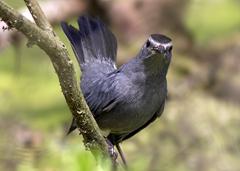 Gray Catbird Sabine Woods Attitude