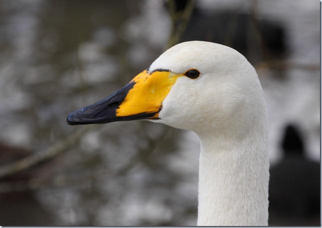 whooper_swan2