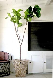 Träd inomhus, Kerrisdaledesign