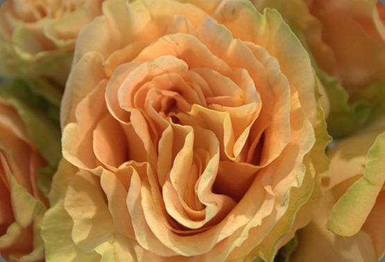 5521159671_dc37fde556 peach finesse rose garden party flowers