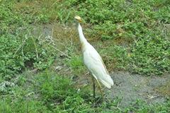 cowbird 057