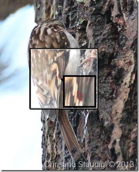Waldbaumläufer-Merkmal