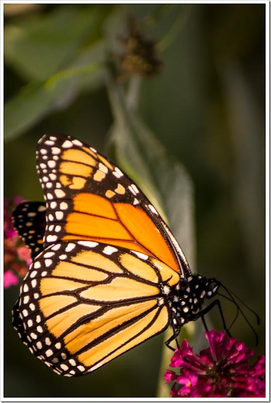 Monarch butterfly on Miss Ruby Buddlea