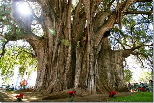 tule-tree-3[6]