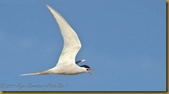 fl Artic Tern-flight- Beak open-D7K_0946  NIKON D7000 June 21, 2011
