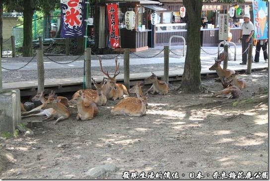 奈良梅花鹿公園,天氣實在太熱了,成群的梅花鹿在樹下乘涼。