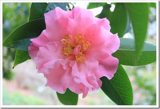 121228_UCBotGarden_Camellia-japonica_02