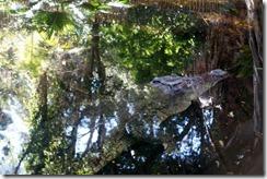 Crocodile at Taronga Zoo