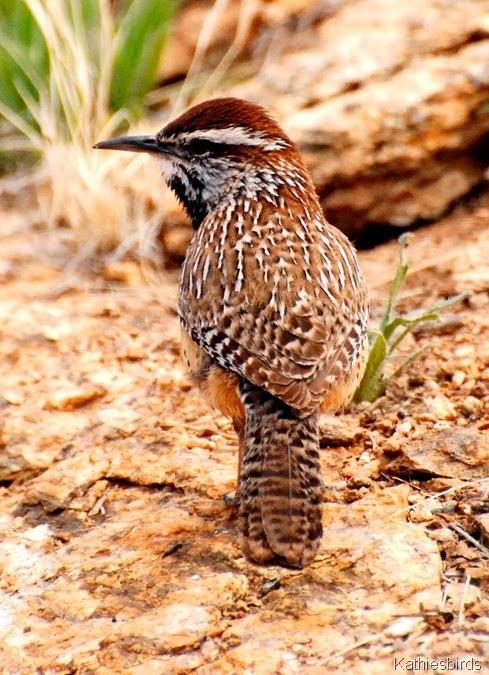 1-7-2014 cacwren saguaro np east-kab