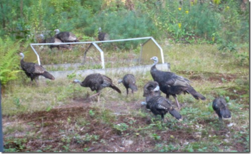 Wild turkeys moving through my back yard
