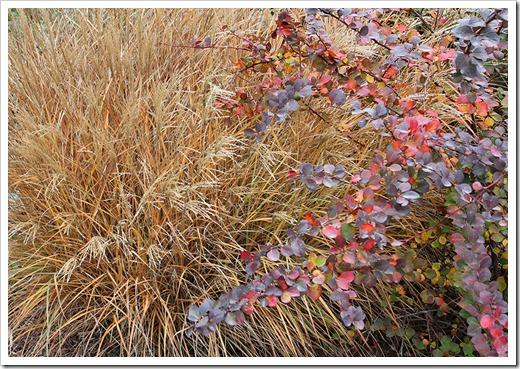111127_Berberis-thunbergii-Rose-Glow- -Miscanthus-sinensis-Silberspinne_001