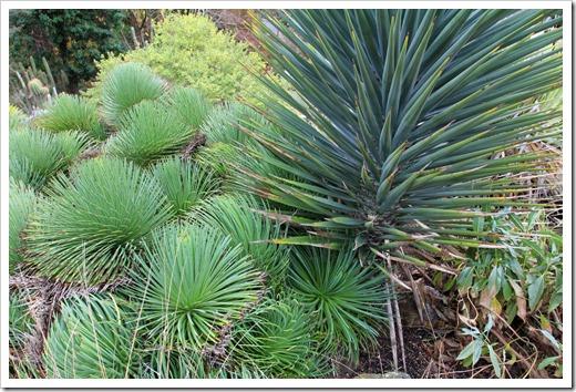 121228_UCBotGarden_Agave-stricta- -Yucca-schottii_02