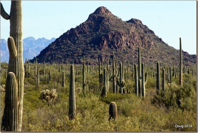 Lots of Saguaro Cactus.