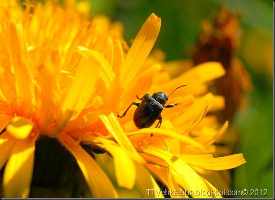 iltapäivä rakasteleva kukkakärpänen 043