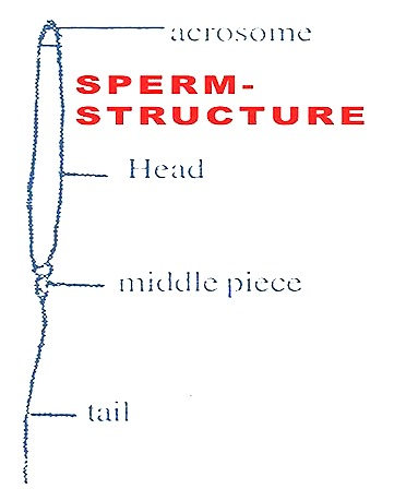 sperm-structure