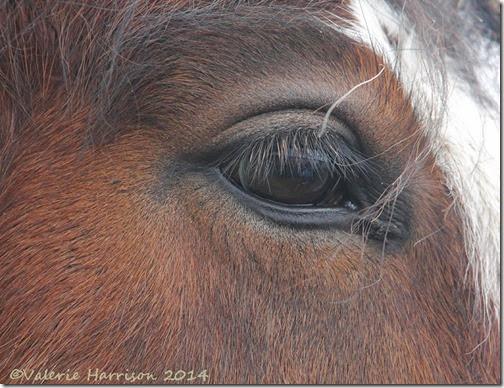 11-horses-eye