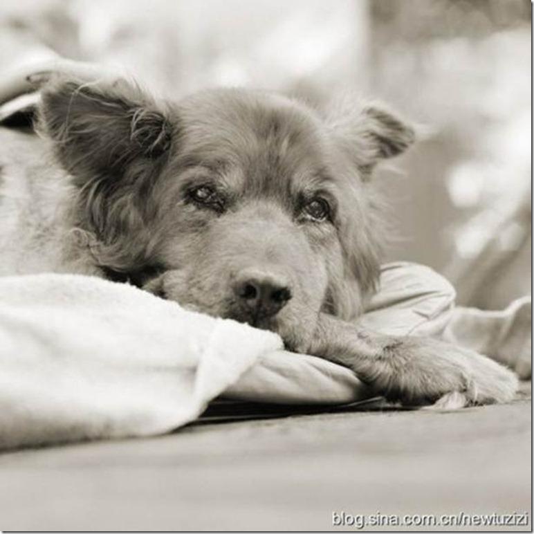 狗狗也會得老年癡呆症