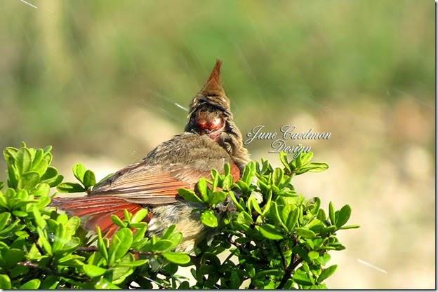 Cardinal_Bathing2