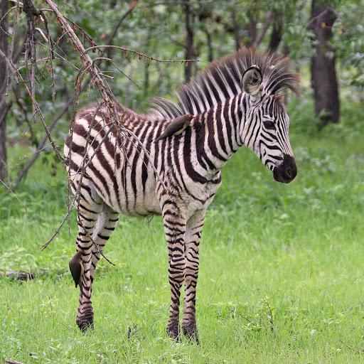 Baby Zebra Zambia