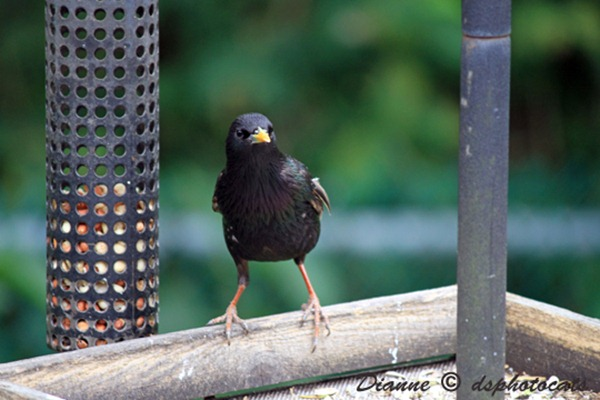 IMG_3590 Black Bird
