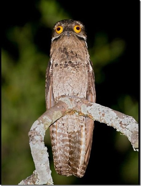potoo-birds-eyes-2