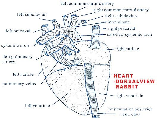heart-dorsal-view