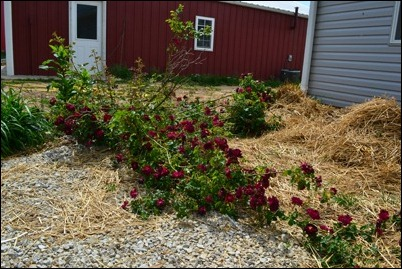out of control red rose bush