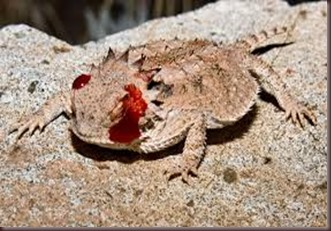 Amazing Pictures of Animals, photo, Nature, exotic, funny, incredibel Zoo, Horned lizard, Phrynosoma, Reptilia, Alex (24)