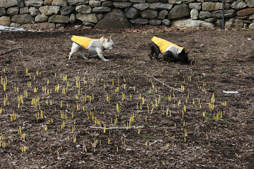 In fact, they seem to be emerging all along the daffodil border.