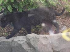 2014.04.21-062 jaguar