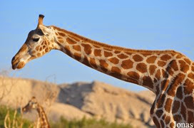 girafe de Nubie